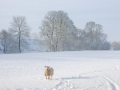 Solitary-Winter-Sheep