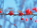red-holly-berries