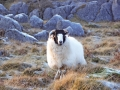 sheep-on-the-fell