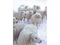 snowy-covered-sheep